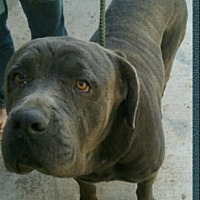 Mastiff Dog for adoption in New Middletown, Ohio - Hercules