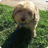 Adopt A Pet :: Dolly - Boston MA, MA