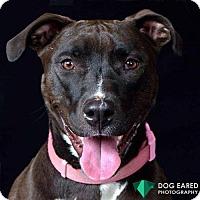 Pit Bull Terrier Mix Dog for adoption in Boston, Massachusetts - Millie