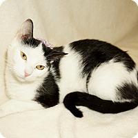 Domestic Shorthair Cat for adoption in Lexington, North Carolina - NINA