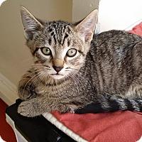 Egyptian Mau Kitten for adoption in Cerritos, California - Keano