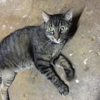 Adopt A Pet :: Tigger - Acushnet, MA