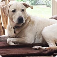 Labrador Retriever Mix Dog for adoption in Mt. Prospect, Illinois - Sylvester