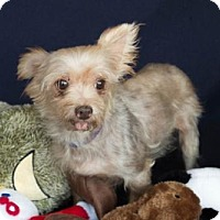 Yorkie, Yorkshire Terrier Dog for adoption in Carrollton, Texas - Avery
