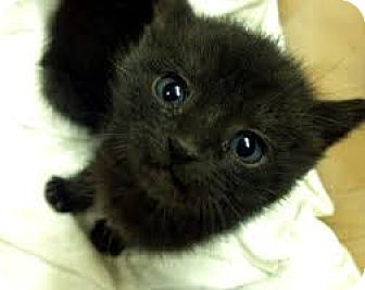 Domestic Shorthair Kitten for adoption in Whitestone, New York - SAMMANTHA
