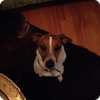 Jack Russell Terrier Mix Dog for adoption in Humble, Texas - Hank
