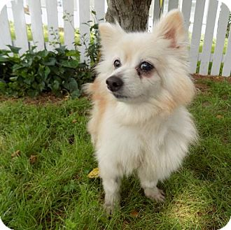 Pomeranian Dog for adoption in Troy, Illinois - Glynis Fostered (Cherlynne)