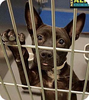 Terrier (Unknown Type, Medium)/Shepherd (Unknown Type) Mix Puppy for adoption in Leesburg, Virginia - Liam puppy