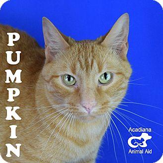 Domestic Shorthair Cat for adoption in Carencro, Louisiana - Pumpkin