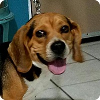 Beagle Mix Dog for adoption in DuQuoin, Illinois - Gilligan