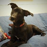 Adopt A Pet :: SHADOW I - Little Rock, AR