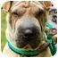 Photo 1 - Shar Pei Dog for adoption in Houston, Texas - Amaris