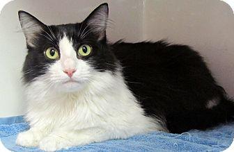 Domestic Longhair Cat for adoption in Seminole, Florida - MooMoo