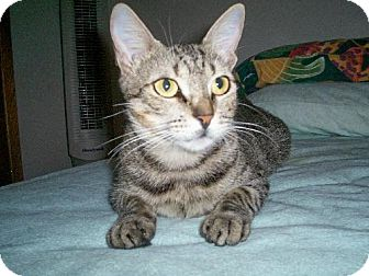 Domestic Shorthair Cat for adoption in St. Cloud, Florida - Madonna