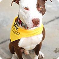 Adopt A Pet :: Houdini - Detroit, MI