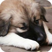 Anatolian Shepherd Mix Puppy for adoption in Austin, Texas - Bear