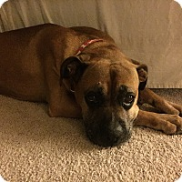 Boxer Dog for adoption in Austin, Texas - Michel