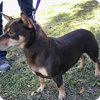 Miniature Pinscher/Corgi Mix Dog for adoption in Lodi, California - Jenny