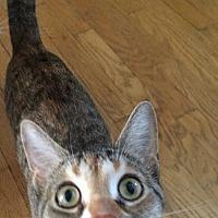 Adopt A Pet :: Tabitha - Davison, MI