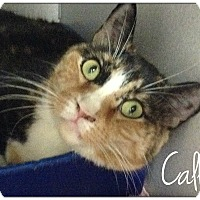 Adopt A Pet :: Callie - Flushing, NY