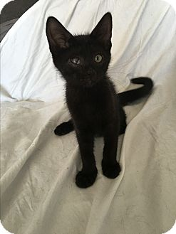 Domestic Shorthair Kitten for adoption in Wayne, New Jersey - Landry