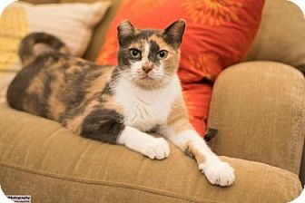 Domestic Shorthair Cat for adoption in Santa Fe, Texas - Megan