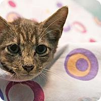 Adopt A Pet :: Lestat - New Orleans, LA
