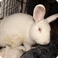 Lop-Eared for adoption in Oxford, Mississippi - Cotton
