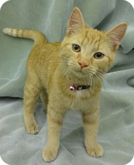 Domestic Shorthair Kitten for adoption in Olive Branch, Mississippi - T.t.