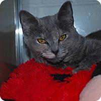 Domestic Shorthair Kitten for adoption in New Castle, Pennsylvania - Sofia