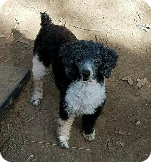 Toy Poodle Dog for adoption in Hurst, Texas - Pippa