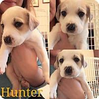 Boxer Mix Dog for adoption in Pomfret, Connecticut - HUNTER