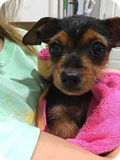Yorkie, Yorkshire Terrier/Chihuahua Mix Puppy for adoption in Allen, Texas - Nina