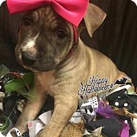 Adopt A Pet :: Holland - Los Banos, CA