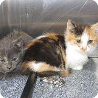 Domestic Shorthair Kitten for adoption in Henderson, North Carolina - JACQUELINE & JANICE