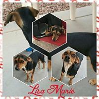 Adopt A Pet :: LISA MARIE - Mesa, AZ