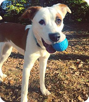 Border Collie/Terrier (Unknown Type, Small) Mix Dog for adoption in Raleigh, North Carolina - Piper