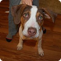 Great Dane/Pit Bull Terrier Mix Puppy for adoption in Sawyer, North Dakota - Maggie Lee
