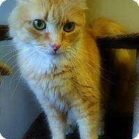 Adopt A Pet :: Amber - Declawed - Laplace, LA