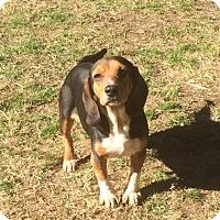 Adopt A Pet :: Darla - Dumfries, VA