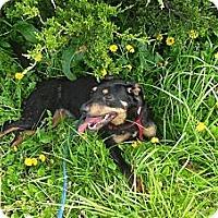 Adopt A Pet :: Quinn ADOPTED! - Antioch, IL