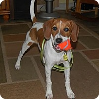 Adopt A Pet :: Merri - Hamburg, PA