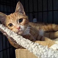 Adopt A Pet :: Wee Monkee - Clarkson, KY