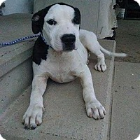 Adopt A Pet :: Ella-pending adoption - Manchester, CT