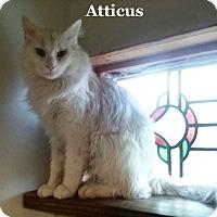 Adopt A Pet :: Atticus - Bentonville, AR