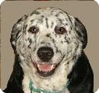 Dalmatian/Labrador Retriever Mix Dog for adoption in Adelphi, Maryland - Socks