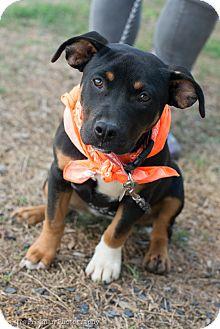American Bulldog Mix Dog for adoption in Muldrow, Oklahoma - Teena