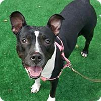 Terrier (Unknown Type, Medium) Mix Dog for adoption in Perth Amboy, New Jersey - Midnight