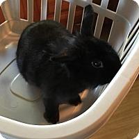 Adopt A Pet :: Raven - Williston, FL