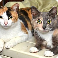 Adopt A Pet :: Thelma & Louise, Calico and Tortie Sweet Sisters - Brooklyn, NY